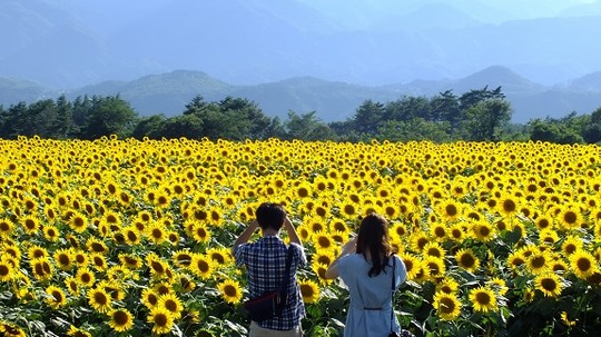 Ngắm lễ hội hoa hướng dương tại Nhật Bản