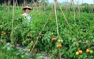 Tuyển nữ nông nghiệp đi xuất khẩu lao động Nhật Bản