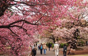 Du học Nhật Bản không thể bỏ qua 4 lễ hội hoa xuân đẹp đến ngỡ ngàng này