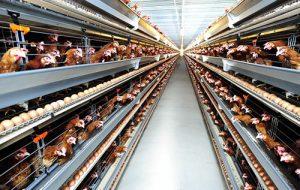 Đơn hàng nông nghiệp chăn nuôi gà tại Shizuoka, Nhật Bản