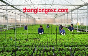 Thang Long OSC tuyển nữ làm nông nghiệp tại Nhật bản