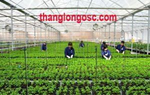 Tuyển nữ làm nông nghiệp trồng rau trong nhà kính tại Nhật Bản