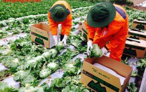 Tuyển 50 nam đơn hàng nông nghiệp ngắn hạn tại Nagoya