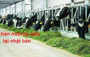Xuất khẩu lao động chăn nuôi bò sữa tại nhật bản